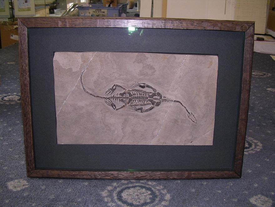 Fossil mounted in a handstained box frame with clear non-reflective glass (see Glass & Mirror page for further information)